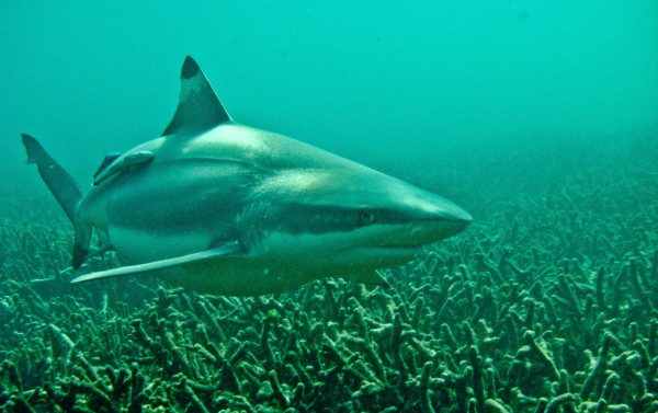 A blacktip reef shark among the coral reefs off Pigeon Island