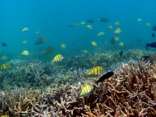 Schools of fish among the coral reefs off Pigeon Island
