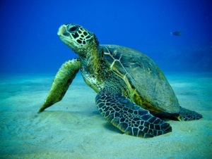 Conservation of Sea Turtles:Five of World's Seven Marine Turtle ...