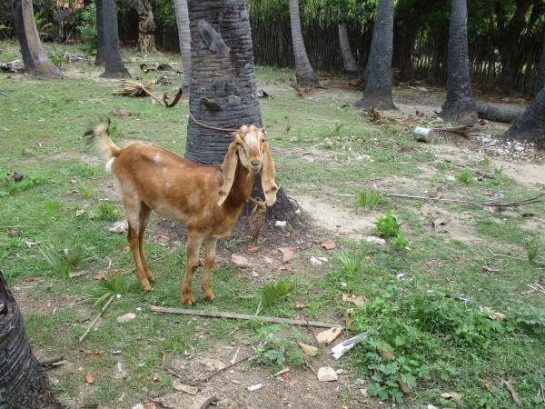 kutty-the-goat